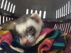 Bandit the ferret made a 'miraculous' recovery after going through a full washing machine cycle (Vets4Pets/PA)
