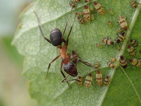 A narrow-headed ant (Formica exsecta), tending birch aphids (John Walters/Buglife/PA)