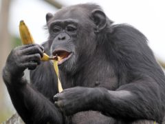 Scientists discover how human brains grow larger than other apes (Andrew Milligan/PA)