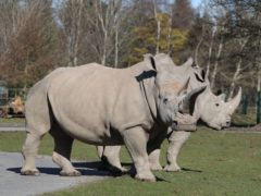 Visitors to Blair Drummond safari park will once more be able to check out attractions like the white rhinos (Andrew Milligan/PA)