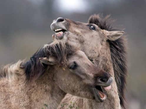 Konik ponies spar together as the foaling season begins at the National Trust's Wicken Fen Nature Reserve in Cambridgeshire (Joe Giddens/PA)