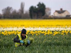 Workers pick daffodils in a field near Holbeach in Lincolnshire (Joe Giddens/PA)