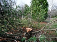 The stump of a rare, 25-foot tall Algonquin Pillar Swiss Mountain pine tree which was cut down and stolen from the UW Arboretum in Madison, Wisconsin (Steve Apps/AP)
