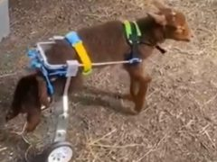 Steven the lamb lost the use of his back legs, and now walks with the help of wheels (Bailey-Bradley Arkwright and Lewis Baron)