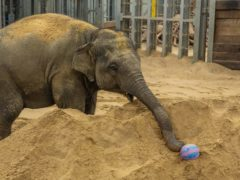 An elephant takes part in an egg hunt (Zoological Society of London/PA)
