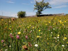 A wildflower meadow at Bowber Head Farm, near Ravenstonedale, Cumbria (Stephen Trotter)