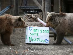 Rescued brown bear cubs Lucy, left and Mish explore gifts stuffed with their favourite treats ahead of their move from the Wildwood Trust in Kent to their forever home at the Trust's sister site, Escot in Devon (Gareth Fuller/PA)