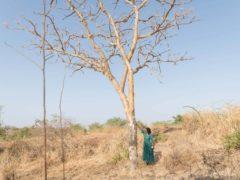 Tesfaye Woretaw examines a damaged frankincense tree in Metema woreda, Ethiopia (Tree Aid/Maheder Haileselassie/PA)