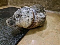 Gnocchi the seal was rescued at Walton-on-the-Naze in Essex after he got a discarded plastic bag caught round his neck (RSPCA/PA)