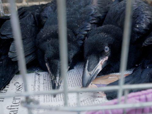 Baby ravens at the tower of London (Historic Royal Palaces)