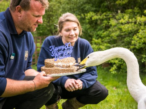 Pickles the swan tucks into his birthday 'cake' (Leeds Castle/PA)