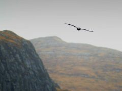 Golden eagles could be among the previously extinct animals to be returned to the wild in England (Haydn West/PA)