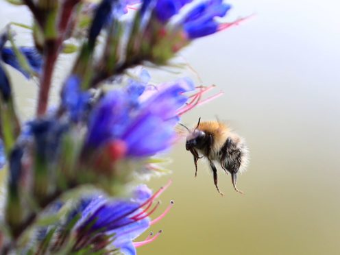 A Bumblebee searches for pollen amongst flowers in Kent (Gareth Fuller/PA)