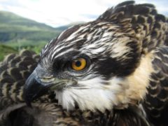 Ospreys are one of the most highly protected species of bird in the UK (Lewis Pate/WTML)