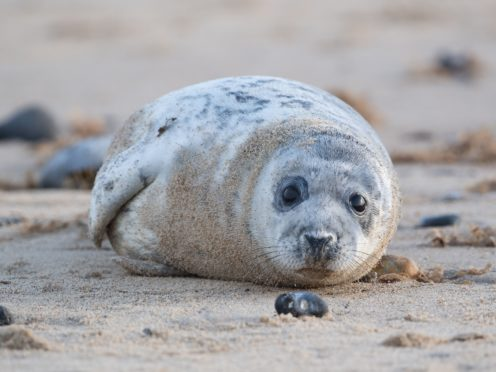 Engineers and biologists have joined forces to reveal how seals evolved to swim (Joe Giddens/PA)
