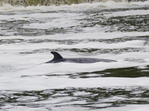 The minke whale in the River Thames near Teddington Lock (Yui Mok/PA)