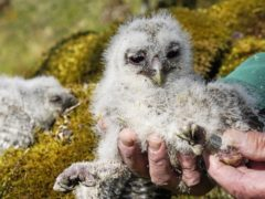 A baby tawny owl chick is ringed by Martin Davison, ornithologist in Kielder Forest, Northumberland (Owen Humphreys/PA)