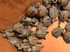 Some of the hundreds of diamondback terrapin hatchlings (Lester Block/Stockton University via AP)