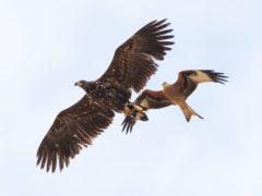 The white-tailed eagle, seen here (left) with a red kite, is Britain's largest bird of prey (Tim Smith/PA)