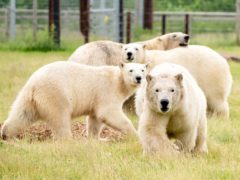 Polar bear Flocke and her three cubs at Yorkshire Wildlife Park in Cantley, near Doncaster (Danny Lawson/PA)
