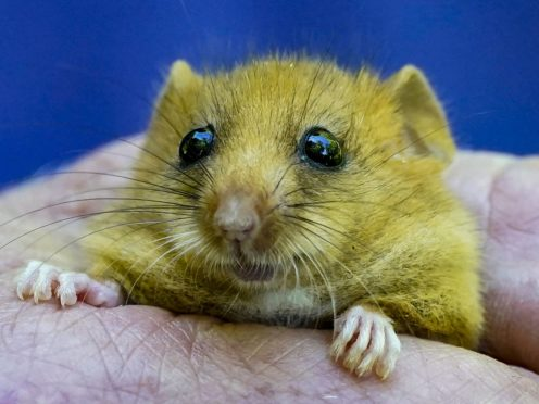 PTES, Natural England and the University of Cumbria are releasing 15 breeding pairs or trios of rare hazel dormice into an undisclosed woodland location in the Arnside and Silverdale Area of Outstanding Natural Beauty (Peter Byrne/PA)