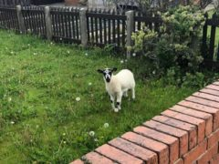 The RSPCA is investigating how vulnerable and frightened lambs came to be dumped in people's gardens (RSPCA/PA)