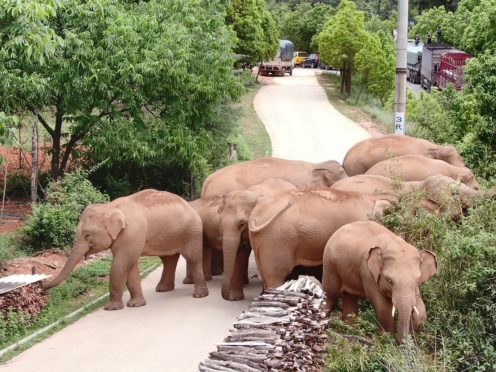 A migrating herd of elephants graze near Shuanghe Township, Jinning District of Kunming city in south-western China's Yunnan Province (Yunnan Forest Fire Brigade via AP)