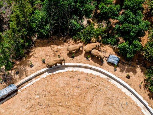 The herd of wild elephants (Hu Chao/Xinhua via AP)