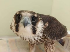An investigation is taking place into the shooting of the peregrine falcon, who was left unable to fly (Liam Reid/Scottish SPCA/PA)