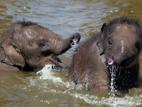 Older sisters better than older brothers for elephants, research suggests (Peter Byrne/PA)