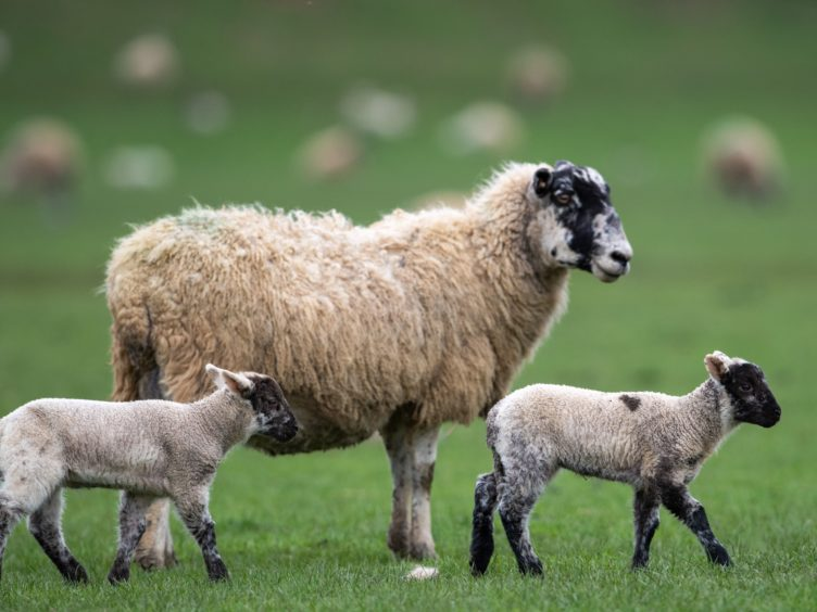 The US is lifting its ban on imports of British lamb (Joe Giddens/PA)