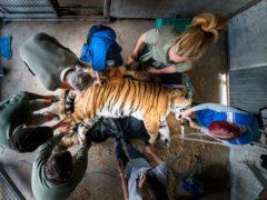 Vladimir, an Amur tiger, lies sedated during a procedure at Yorkshire Wildlife Park (Danny Lawson/PA)