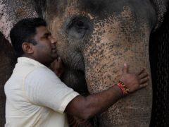 Sri Lankan elephant owner Niraj Roshan Samarakkodi pets his elephant at his home in Pannipitiya (Eranga Jayawardena/AP)