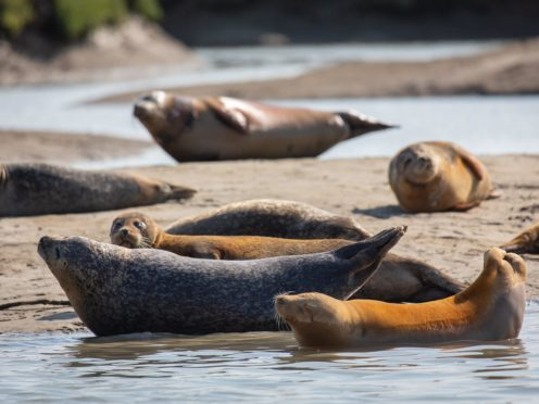 Seals in the Thames Estuary close to Ramsgate (ZSL/PA)