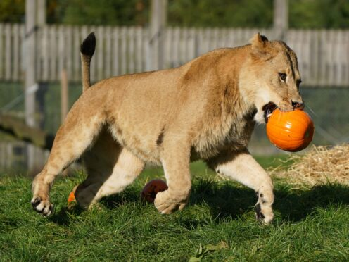 Lions interact with a giant hay bale and pumpkins filled with enrichments at Blair Drummond Safari Park, near Stirling, during final preparations for their Halloween event which starts this weekend (Andrew Milligan/PA)