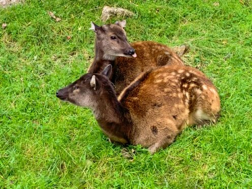 Philippine spotted deer (Newquay Zoo)
