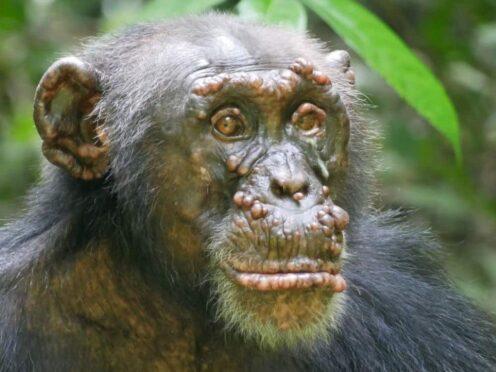 Leprosy in wild chimpanzees (Cantanhez Chimpanzee Project/Elena Bersacola/Marina Ramon/PA)