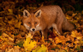Gardens provide food and shelter for the fox