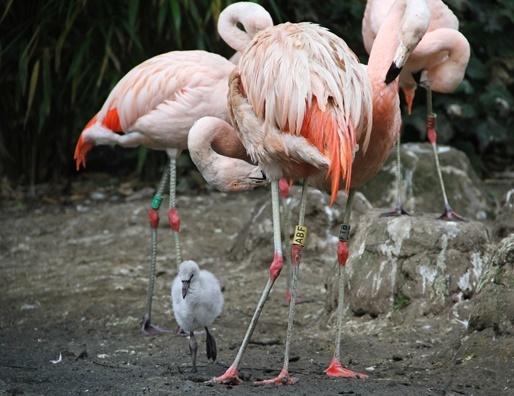Chilean Flamingoes at Edinburgh Zoo. Photo courtesy of Royal Zoological Society of Scotland