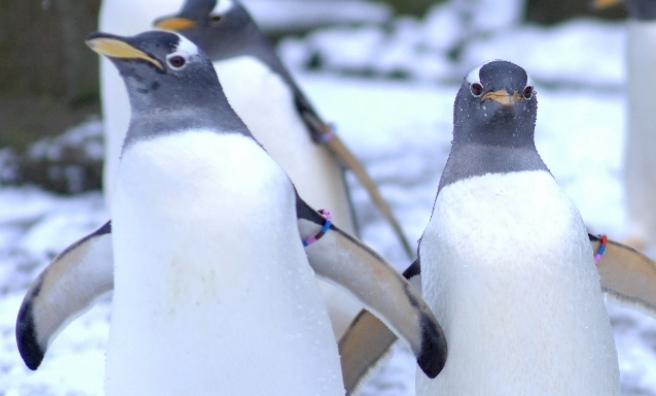 Gentoo Penguins at Edinburgh Zoo