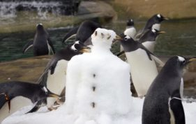 Edinburgh Zoo's gentoo penguins even have their own (slightly fishy) snowman!
