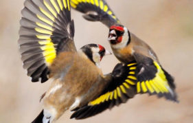 Laurie Campbell goldfinches photography