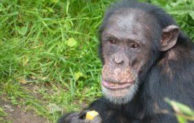 Frek, one of the Bekse Bergen chimpanzees. Photo by Jamie Norris
