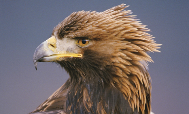 A golden eagle (Pic: Alamy)