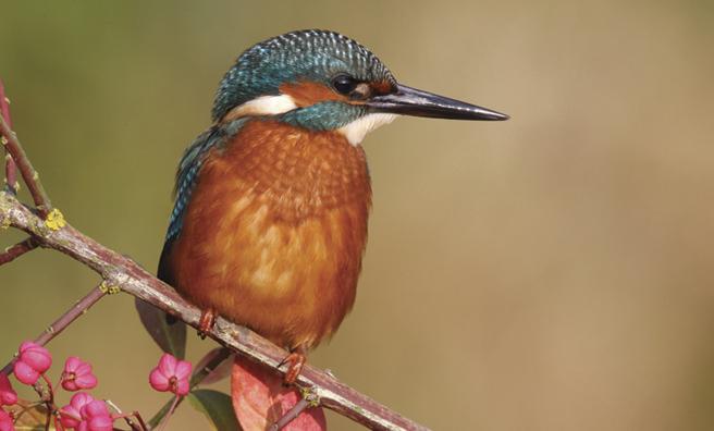 European kingfisher Alcedo (Pic: Alamy)