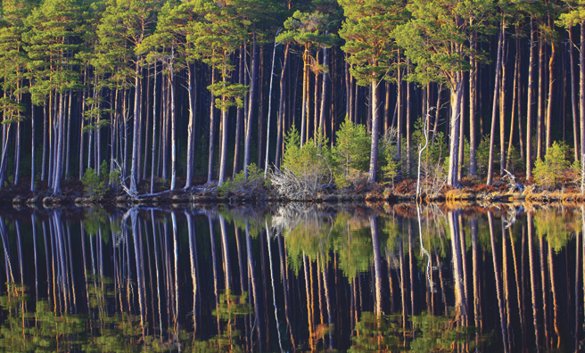 Cairngorm pineforest (Pic: Alamy)