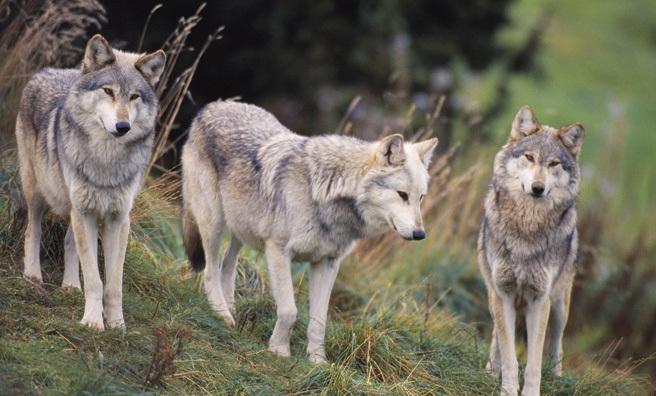 Wolves make everything in an ecosystem make sense