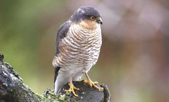 Sparrowhawk perched on a wild cherry tree