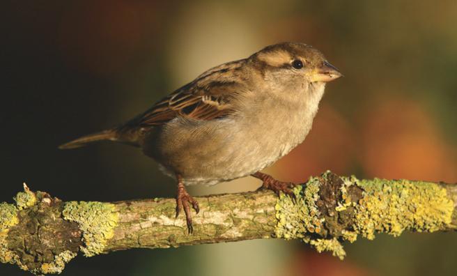 A female house sparrow