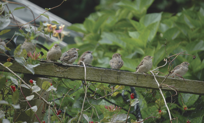 Within minutes the sparrows were back on the fence